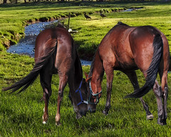 Horses by the creek (gos1959) Tags: horses creek manipulation geas jammerbugt impressedbeauty mygearandme mygearandmepremium mygearandmebronze mygearandmesilver mygearandmegold biersted