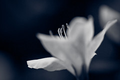Bright Eyes (PAM Photo graphie) Tags: naturaleza flores flower macro nature whiteflower soft softness 100mm ze planar botnico makroplanar floresblancas awesomeblossoms carlzeissmakroplanar2100ze