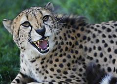 cheetah (thomas motyka) Tags: county eos zoo mark teeth houston ii angry 5d cheetah harris endangered motyka