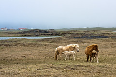 Mother Nature (Harpa Hrund) Tags: horses horse iceland dam colt icelandic filly foal hestar hross folald folld