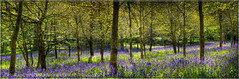 Bluebell Woods 2 Panorama (Stuart Leche) Tags: flowers blue trees panorama plants green grass bluebells spring woods stitch hdr forrestry
