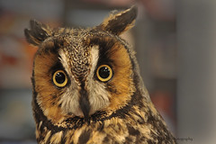 Long Eared Owl (zoom out till -- more off than on) Tags: freedomtosoarlevel1birdphotosonly freedomtosoarlevel2birdphotosonly
