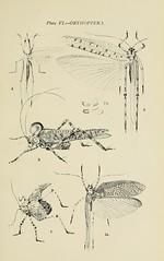 Anglų lietuvių žodynas. Žodis locustidae reiškia lokustai lietuviškai.