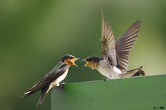 (Explored) A fierce quarrel going on.... (kengoh8888) Tags: wild green pacific pentax action fierce background ngc flight npc swallow creamy k5 actionshot quarrel thegalaxy rememberthatmomentlevel4 rememberthatmomentlevel1 rememberthatmomentlevel2 rememberthatmomentlevel3 rememberthatmomentlevel5