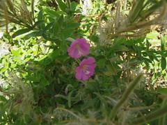 Epilobium hirsutum L. (Jef Dockx) Tags: crete floweres