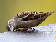 I Just Want To  Take A Nap... (Ger Bosma) Tags: sparrow mus housesparrow passerdomesticus spatz huismus gorrincomn haussperling moineaudomestique mygearandme mygearandmepremium img40618filtered