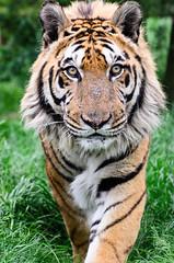 Hybrid Tiger (Funky Foxy) Tags: tiger pantheratigris endangeredbigcats hybridtiger