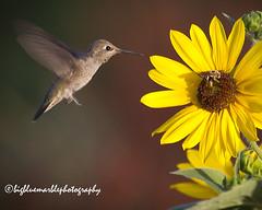 The Bird and the Bee (azphotomom37) Tags: arizona flower insect hummingbird desert gibson florafauna canon7d