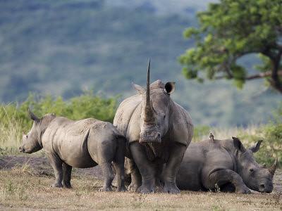 Umfolozi Rhino