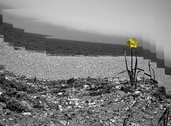 Daffodil-008b (Plbmak) Tags: sea bw white black flower beach nature yellow mono blackwhite sandy shoreline monotone shore daffodil stony narcissus snettisham black white tidemark thewash thegalaxy