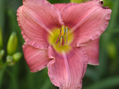 _1140575 (Old Lenses New Camera) Tags: flowers plants garden cine panasonic telephoto daylily g1 f25 wollensak raptar 63mm 212inch