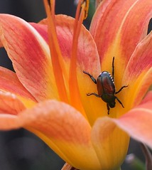 More *(&@! Beetles :-) (btn1131) Tags: plants flower nature floral fuji insects bugs beetles x10