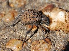 Beetle (anacm.silva) Tags: africa wild nature bug insect southafrica nikon wildlife natureza beetle bugs krugernationalpark krugerpark kruger insecto áfrica escaravelho vidaselvagem áfricadosul anasilva