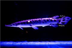 Mengkilap (Eka Purna Sumeika *PIC*) Tags: bali fish water indonesia ikan denpasar d3000 pulauserangan nikond3000 mengkilap