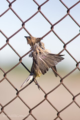 Fly to Heaven (D:> D.H.LEE) Tags: bird fence death day 85mmf14 rokinon