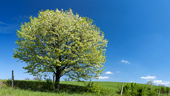 Spring tree (elkarrde) Tags: blue sky panorama tree green nature spring pentax bloom 24mm polarizer tamron 169 stitched f25 cpl twop 2011 stitchedpanorama adaptall2 fullhd k20d pentaxk20d 01bb spring2011 shadehill tamronadaptall201bb24mmf25