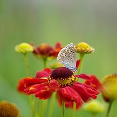 Common Blue (Polyommatus icarus) (vaskos66) Tags: light summer flower color colour macro green nature beautiful butterfly europe dof pentax bokeh natur sigma makro k7 vaskos66