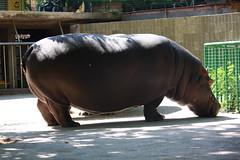 hippo (Olaya Garcia) Tags: barcelona canon eos zoo hippo hipo hipopotamo 1000d