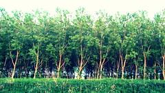 Tree texture (Michele -) Tags: tree alberi pioppi bentivoglio larizza