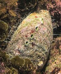 Abalone (Ed Bierman) Tags: scuba diving marinelife ncrd gaydiving
