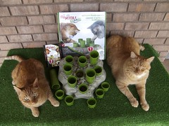 Zeus & Phoebe love their Stimulo Food Center (youtube.com/utahactor) Tags: food pet cats dogs animal animals cat toy ginger play tabby feeder center boredom phoebe zeus activity interactive hunt stimulate stimulo aikiou