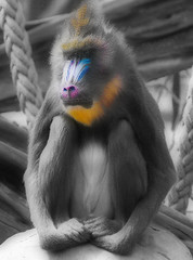207/365 - Pondering Baboon (Chivers999) Tags: blue orange animal canon sitting purple ape baboon 365 tamron primate selective selectivecolour 60d canon60d