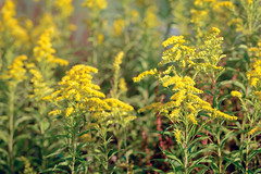 Goldenrod - Guldenroede - Solidago (RuudMorijn-NL) Tags: bloom blooming blossom bright close closeup colorful detail field flowers garden golden goldenrod green heads herb herbaceous herbal leaves medicine natural nature outdoor plants rod solidago spring springtime stem stems subtle summer sunny weed wild wildflower wildflowers yellow bladeren bloei bloemaren bloemen bloemhoofd flora geel geelgroen gele groen guldenroede heldergeel kleurrijk kruidachtig natuur natuurlijk onkruid plant planten seizoensgebonden stengel wilde zomer zonnig dutch netherlands noordbrabant lagezwaluwe