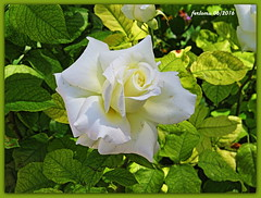 Toro (Zamora) 17 Rosa blanca y hojas (ferlomu) Tags: hojas flor rosa toro zamora ferlomu