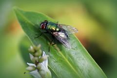 Green Bottle Fly (Crisp-13) Tags: green bottle fly macro wings leaf eyes