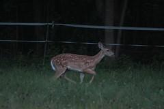 IMG_9679 (thinktank8326) Tags: deer whitetaileddeer fawn babydeer