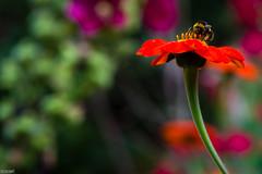 Collecting (Tony McD) Tags: bee erddig wrexham wales nikon nikkor d610 105mm f28g nikonfilter nationaltrust