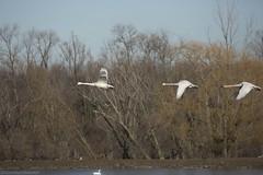 Tundra Swan AJ (martinaschneider) Tags: swan tundraswan flight flying bird birds aylmer ontario spring bluesky tree trees
