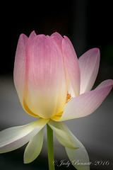 2016_HoumasHouse__DSC3252_12906 (jben1022) Tags: houmashouse lotusflower