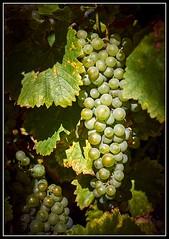 DSC01465 -Weintrauben_02 (Max-Friedrich) Tags: ilce7rm2 sony variotessar42470 frchte obst herbst weintrauben outdoor landwirtschaft wein zeiss grappes