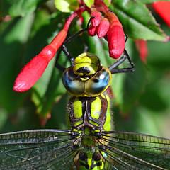 Southern Hawker Dragonfly ... Aeshna cyanea (AndyorDij) Tags: aeshnacyanea southernhawkerdragonfly dragonfly insects insect fuchsiamagellanica fuchsia empingham england rutland uk unitedkingdom 2016 andrewdejardin