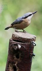 Nuthatch (ttbeep) Tags: nuthatch yorkshirewildlifetrust adeldamnaturereserve canoneos700d nuts nut birds welikenuts yorkshire england uk sittaeuropaea