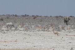 Namibia 2016 (296 of 486) (Joanne Goldby) Tags: africa africanelephant antidorcasmarsupialis august2016 elephant elephants etosha etoshanationalpark explore loxodonta namiblodgesafari namibia safari springbok antelope