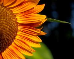 aside (janicelemon793) Tags: bright colourful sunflower closeup macro crop orange abstract