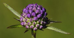 Devilsbit Scabious - Succisa pratensis  170816 (2) (Richard Collier - Wildlife and Travel Photography) Tags: flowers wildflowers flora macro british flowersenglishflowers devilsbitscabious succisapratensis coth5