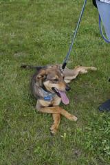 Relax (DanielOssino_EducatoreCinofilo) Tags: cane cani dog dogs relax tired stanco puppy class puppyclass puppies cucciolo cuccioli