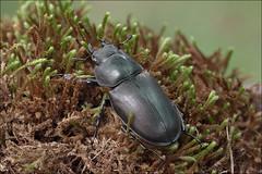 Lucanus-cervus_7 (amadej2008) Tags: taxonomy:binomial=lucanuscervus stagbeetle hirschkfer roga kleman lucanuscervus stag beetle rogai klemani lucanus cervus