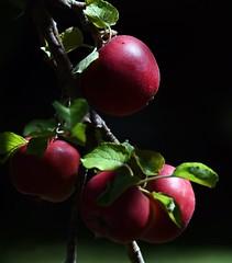 Apples In Low Key (It Sure Feels Like Fall, Love It!!!) Tags: inthebackyard apples cookng low