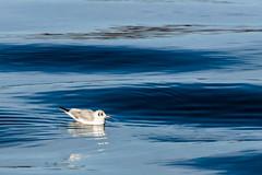 I love my Waves (*Capture the Moment*) Tags: 2016 elemente laketegernsee möwe seagull sonya77 tegernsee wasser water waves wellen winter schwimmend swimming badwiessee bayern deutschland