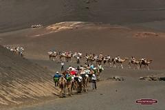Timanfaya National Park , Lanzarote , Aug 2016 (Bri Hall) Tags: lanzarote canaryislands timanfaya timanfayanationalpark camel camels