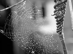 spiders web-8210098 (E.........'s Diary) Tags: eddie rossolympusomdem5markiiscotlandaugust2016newburghfifescotland spider web water droplet rossolympusomdem5markiiscotlandaugust2016newbu