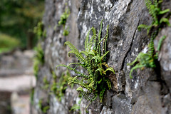 Life Clings On (eyesomepics) Tags: wall stone plant fauna growth plants bokeh fern d3300 nikon life nature outdoors