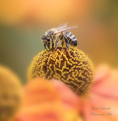 Helenium Bee (Jane Dibnah Botanical Art) Tags: helenium bee pollen garden floraandfauna nature orange macro powyscastle seles