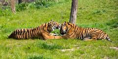 Sumatran Tigers (Gareth Christian) Tags: camera chesterzoo d750 nikon pantheratigrissumatrae sumatrantiger