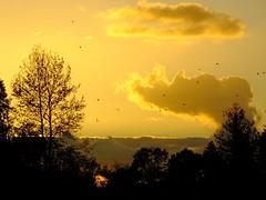 Joyful Flight and then Good Night (BriarCraft) Tags: bird cloud goldenhour silhouette sky sunset tree