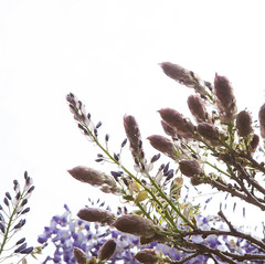 5525Spring11 (Robin Constable Hanson) Tags: buds ceiling flowers overhead sky spring up wisteria